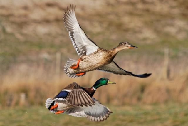 Parc ornithologique du Marquenterre 227131Marquenterre_Avril_2010_RAW_431_DxO_raw__800x600_
