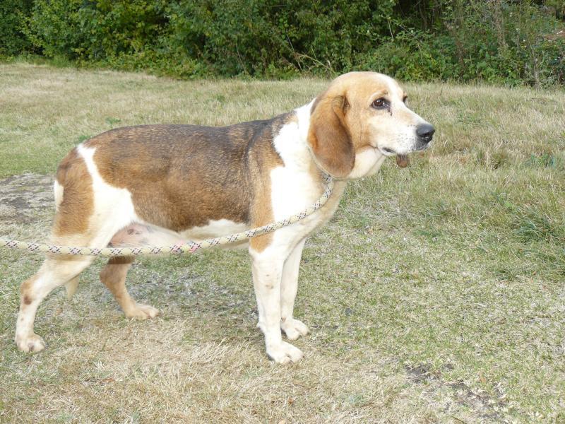FAUSTINE, croisée beagle femelle de 14 ans incontinente (86) 279186P1060137