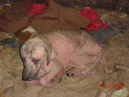 45 chiens à l'abandon dans un sale état à perpignan !!! 342597chien_1