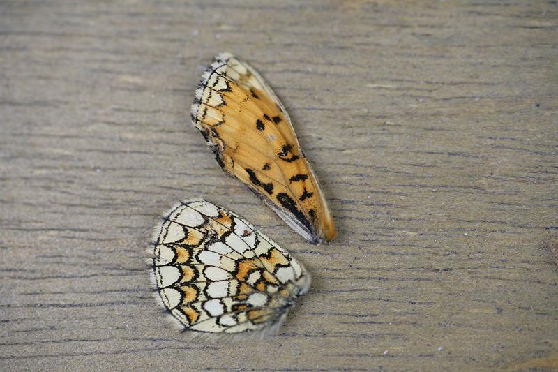 [Melitaea parthenoides & divers] damned damier 403765Melicta_A1