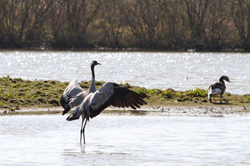 Parc ornithologique du Marquenterre 47526Marquenterre_Avril_2010_RAW_255_DxO_raw__800x600_