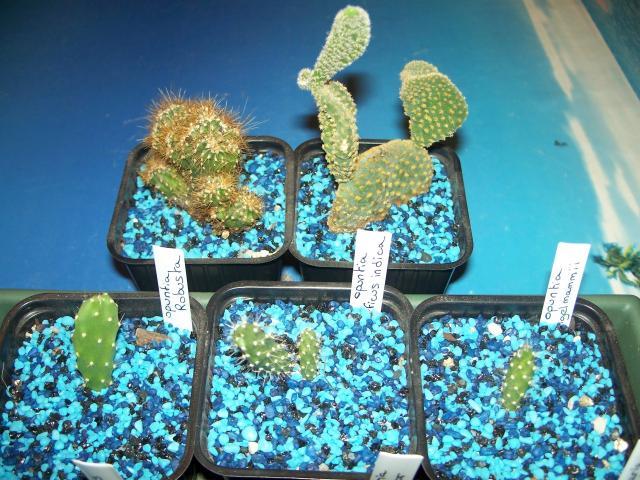mes cactus 2010 63049100_2135