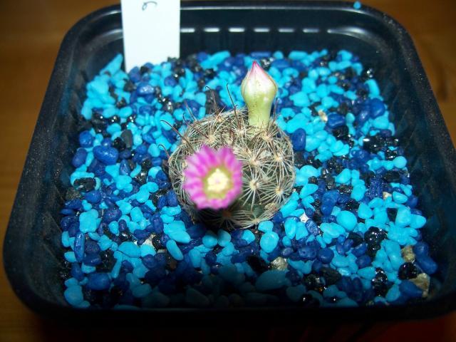 mes cactus 2010 675429100_2128
