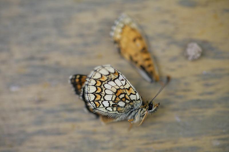 [Melitaea parthenoides & divers] damned damier 699992Melicta_C1