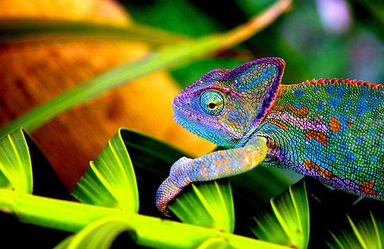 [Jeu] Association d'images - Page 20 719173445597_5_chameleon