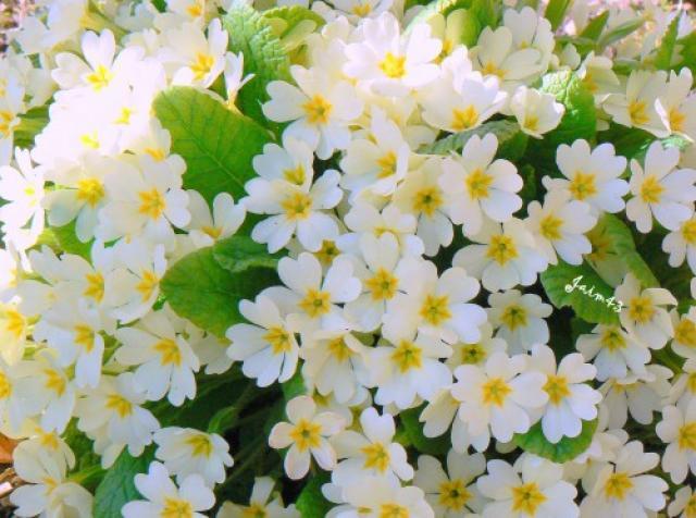 Fleur des Elfes 761838901421370