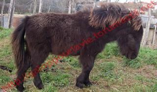 VENDREDI - Poney typé Shetland né en 2009 - adopté en février 2010 par oramai-di-maggio 590021811341vinus3