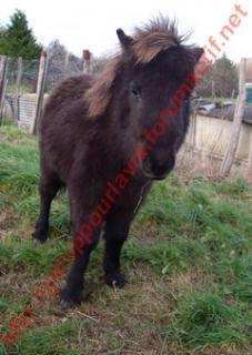 VENDREDI - Poney typé Shetland né en 2009 - adopté en février 2010 par oramai-di-maggio 763432368929vinus2