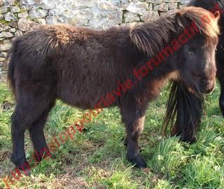 VENDREDI - Poney typé Shetland né en 2009 - adopté en février 2010 par oramai-di-maggio 874822561070vinus8