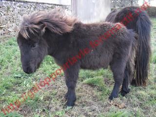 VENDREDI - Poney typé Shetland né en 2009 - adopté en février 2010 par oramai-di-maggio 941863136776vinus5