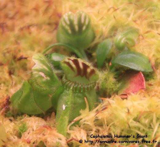 Cephalotus Hummer's Giant 949813Cephalotus_Hummers_Giant_12_09_09__640x480_