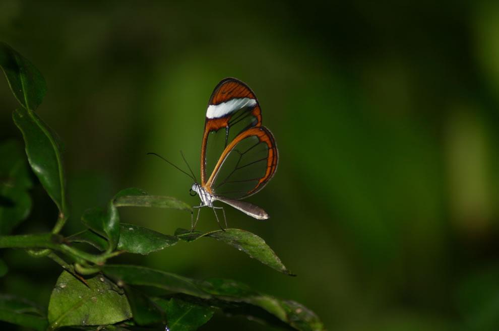 Cánh bướm trong suốt Emrl