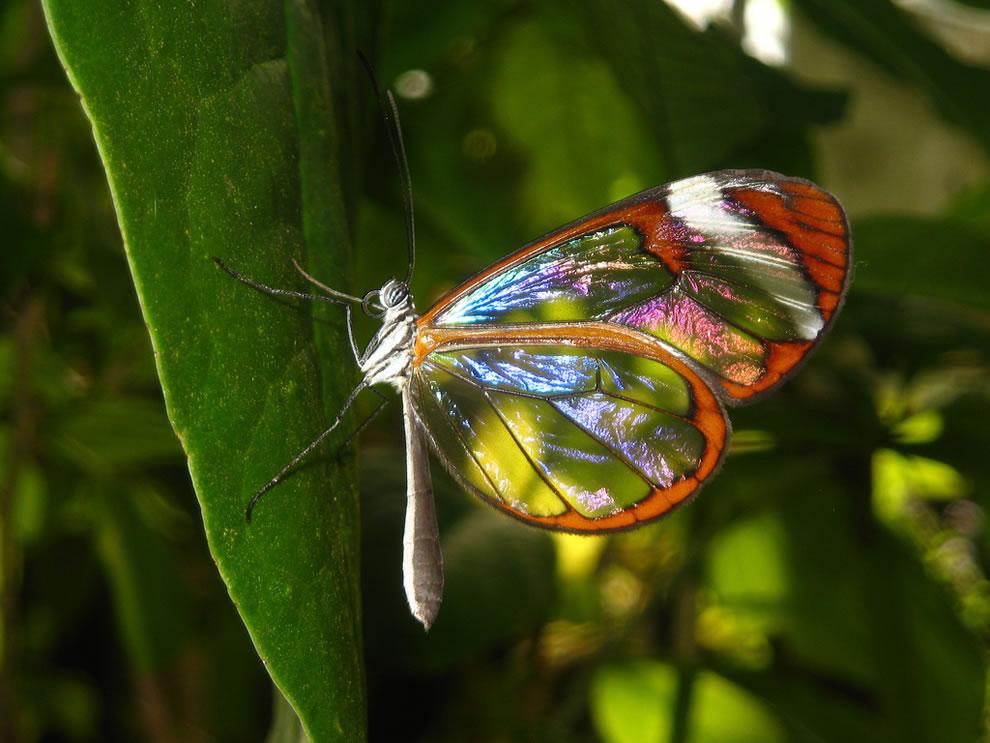 Cánh bướm trong suốt 4rzm