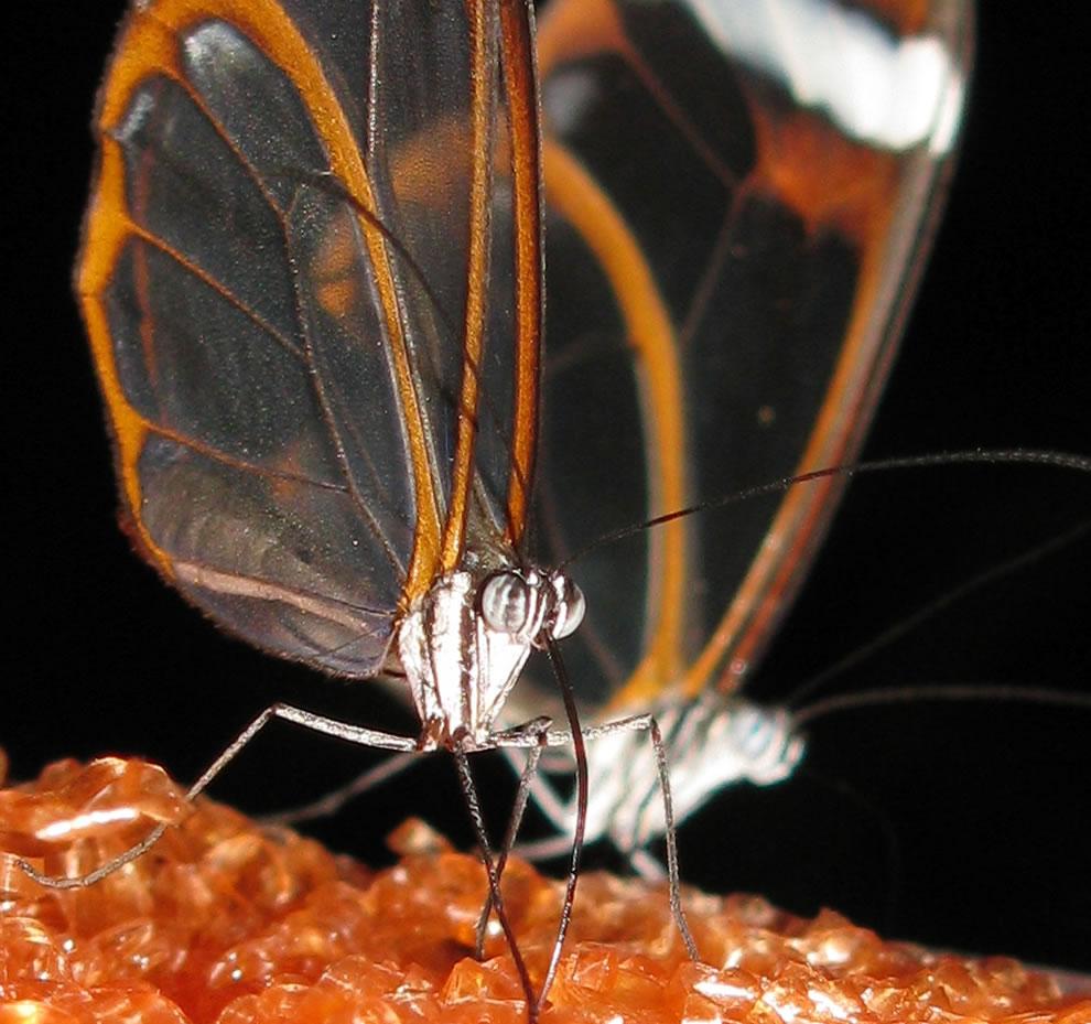 Cánh bướm trong suốt 8z64