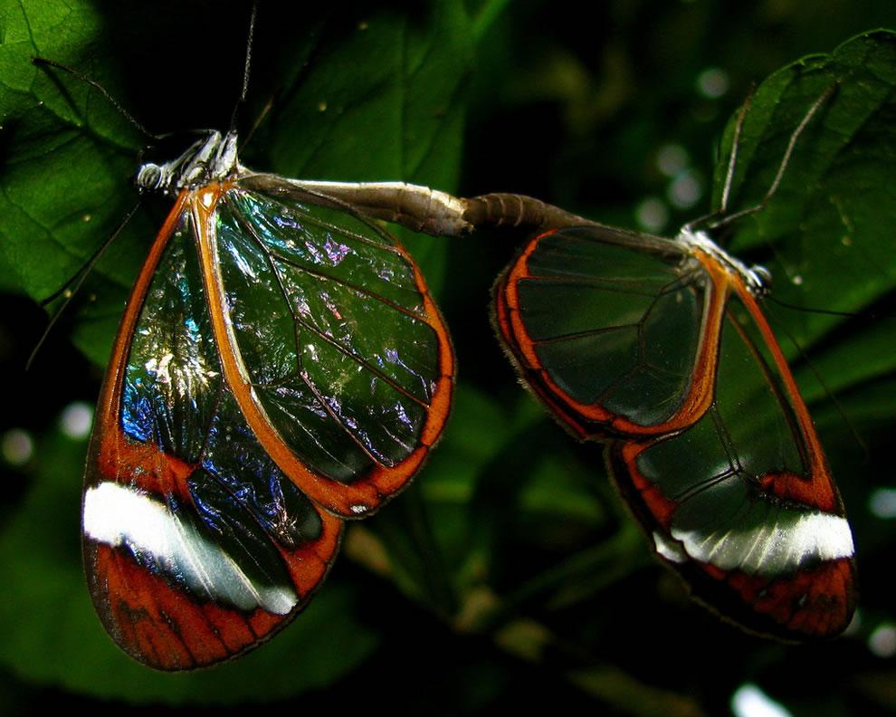 Cánh bướm trong suốt Oa79