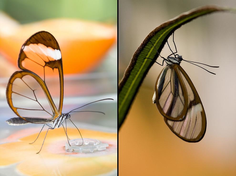 Cánh bướm trong suốt 7eqo