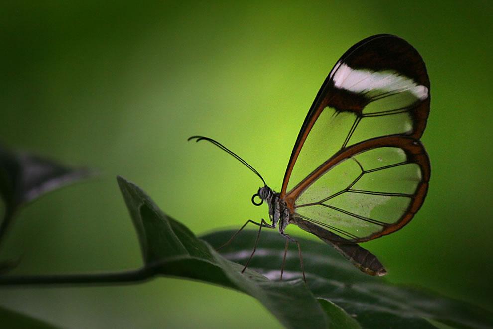 Cánh bướm trong suốt Rerv