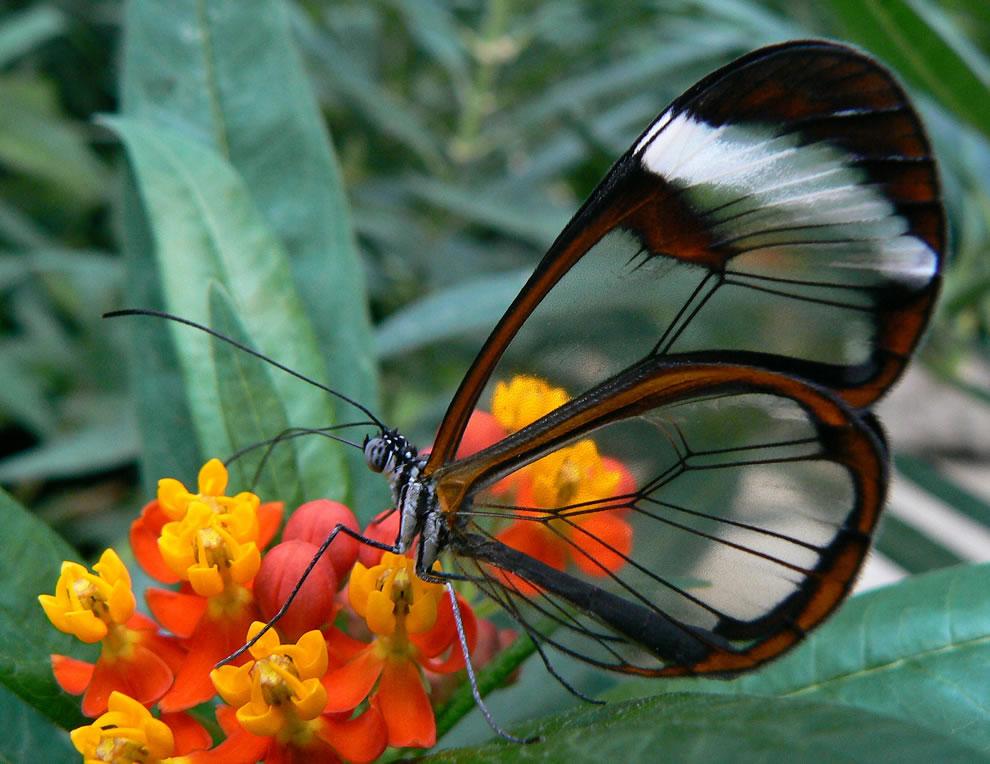 Cánh bướm trong suốt 80p8