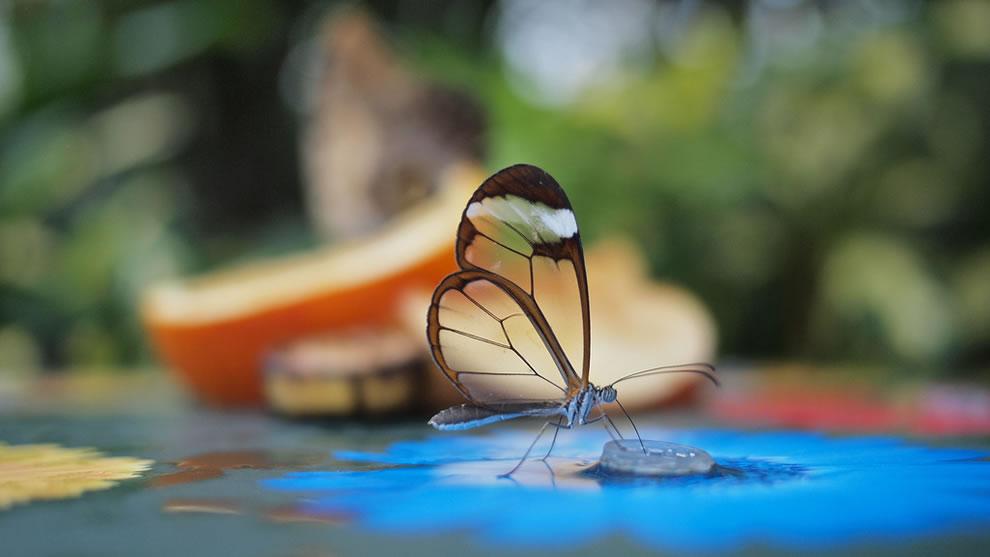 Cánh bướm trong suốt 4r0q