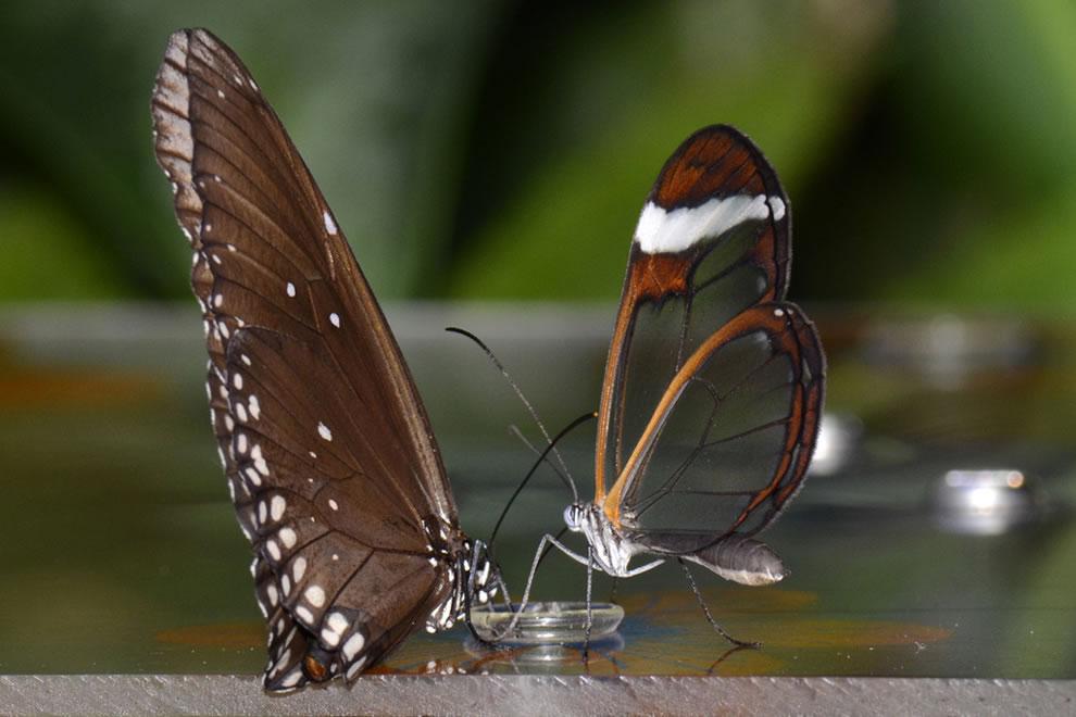 Cánh bướm trong suốt Fmcd
