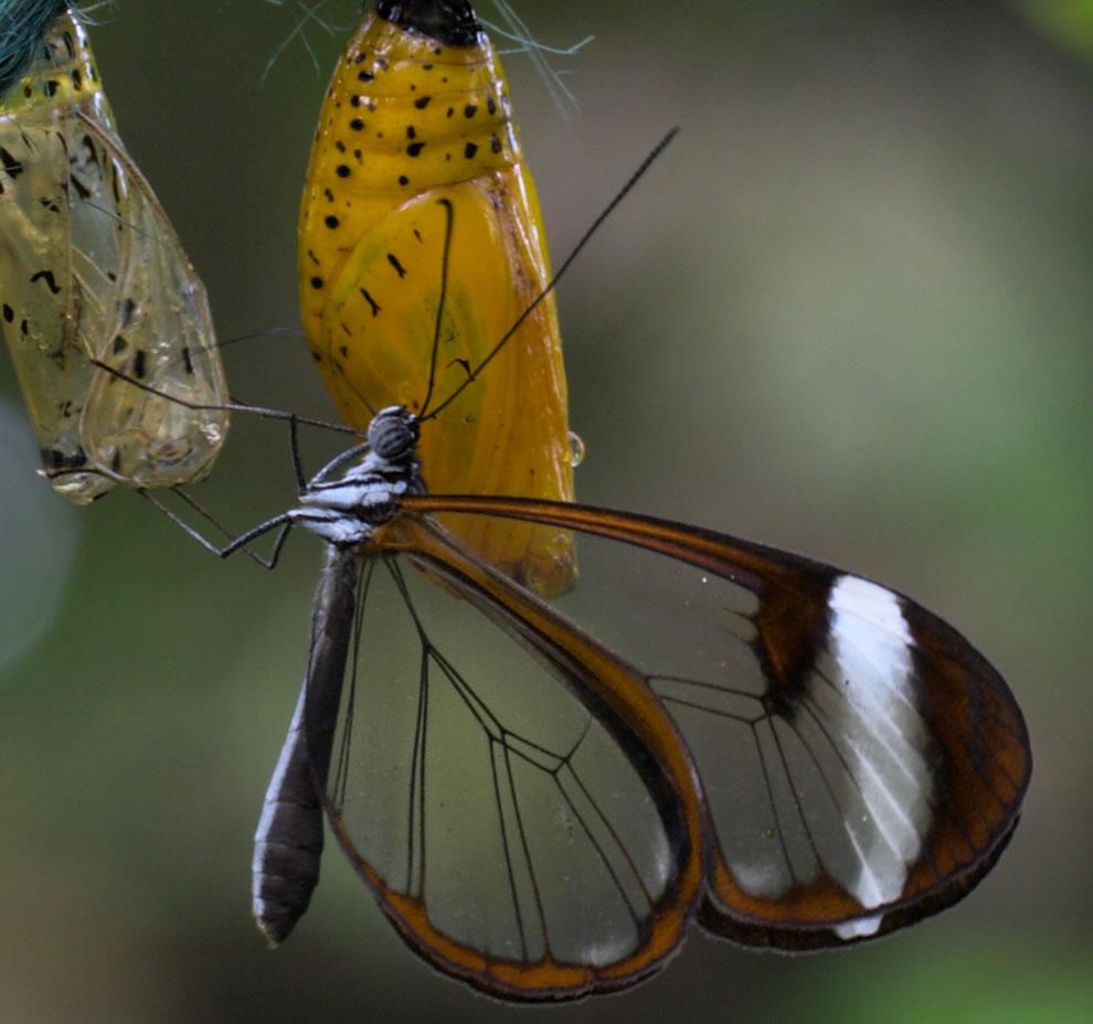 Cánh bướm trong suốt 5hqi