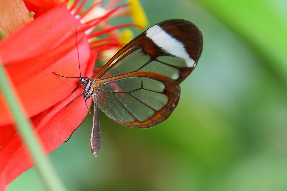 Cánh bướm trong suốt Ltq7