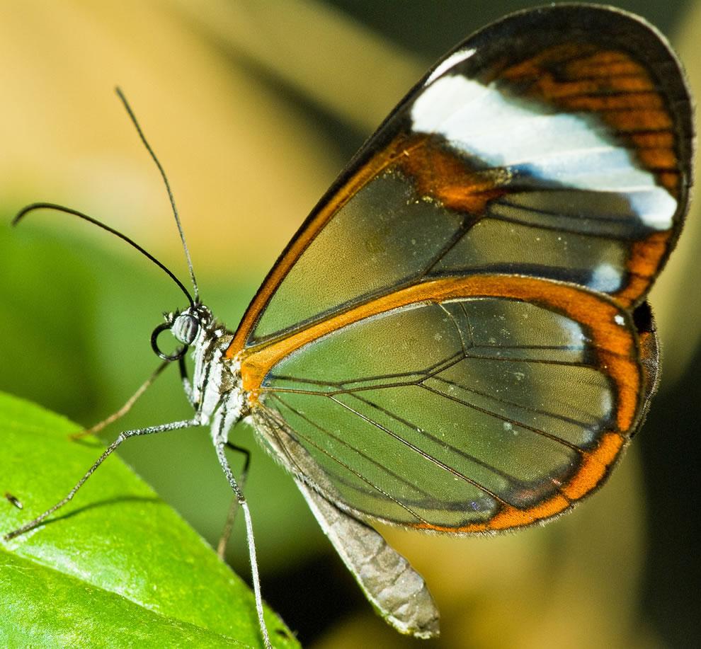 Cánh bướm trong suốt Jnef