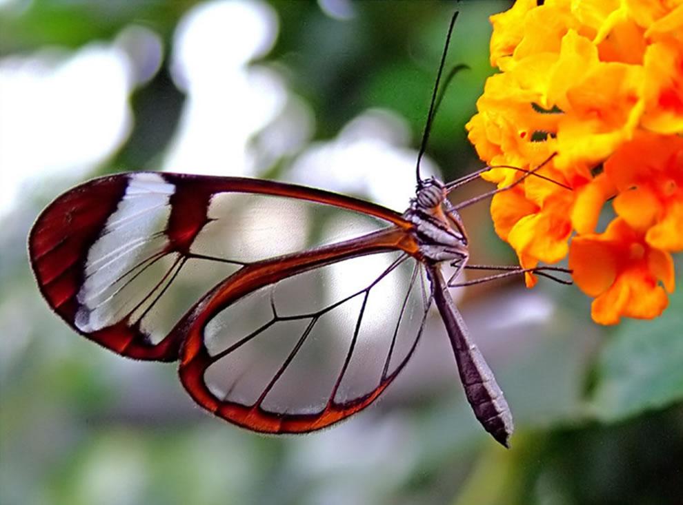 Cánh bướm trong suốt Ffng