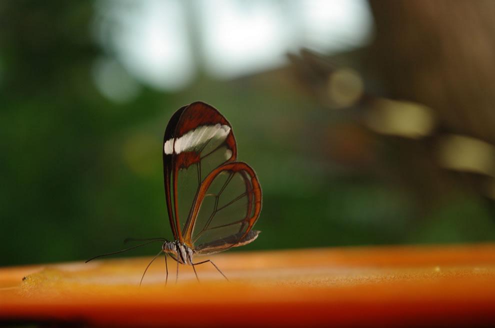 Cánh bướm trong suốt Yix0