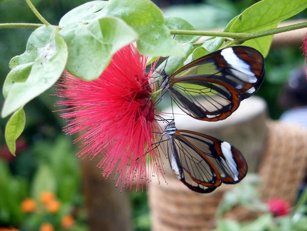 Cánh bướm trong suốt 8myy