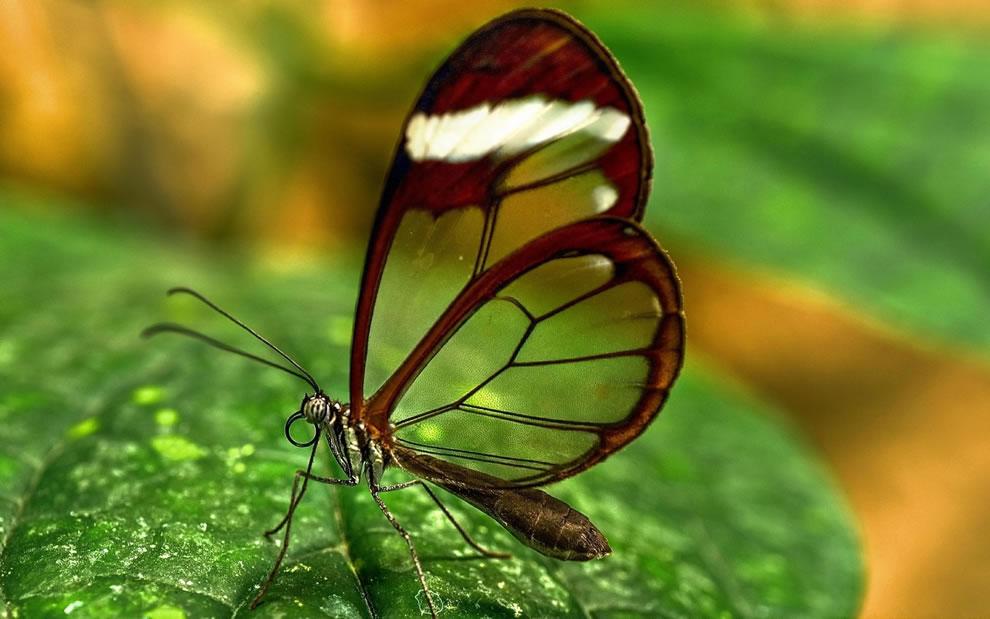 Cánh bướm trong suốt Ljuw
