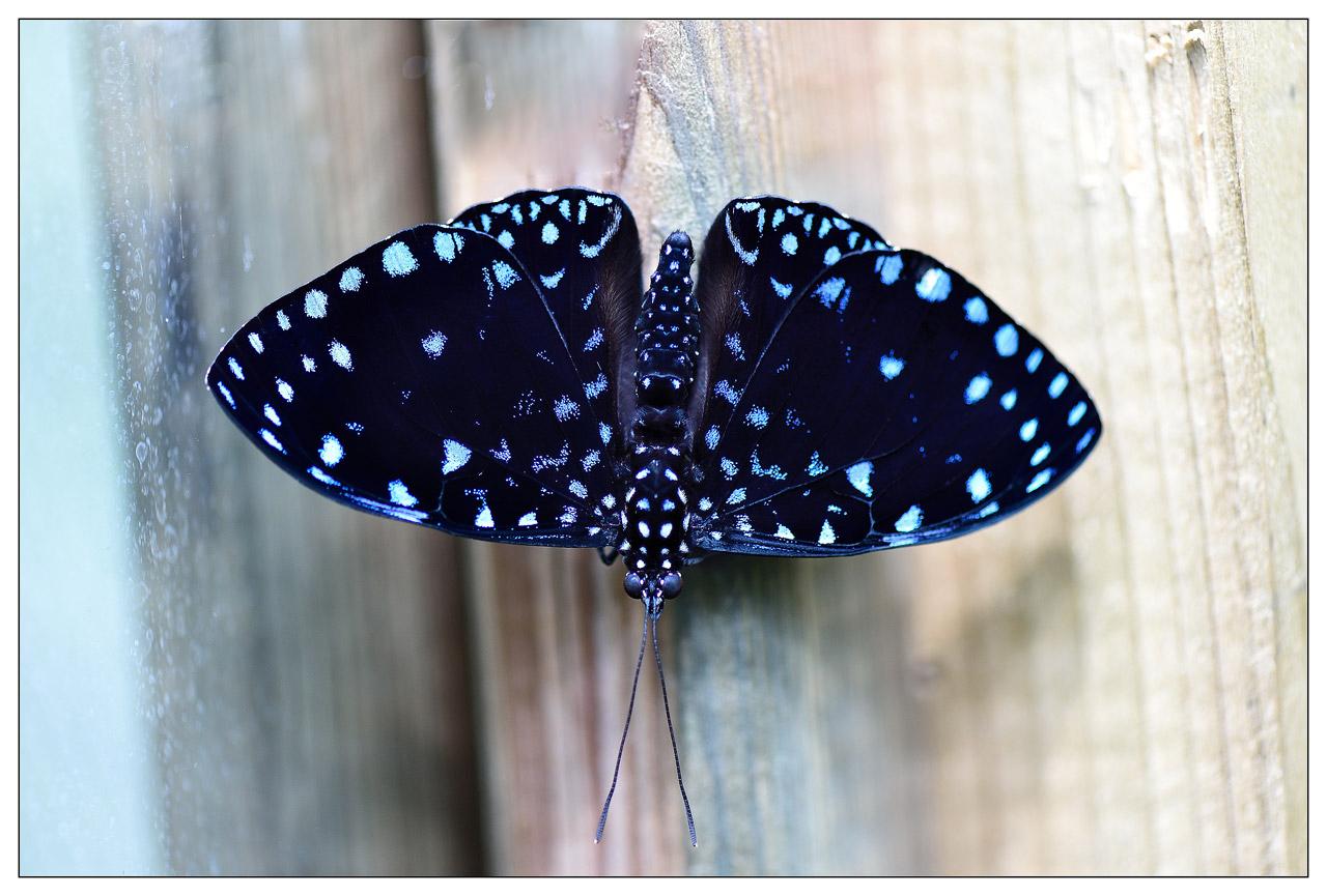 13 / 06 / 2015 - Remerchen / papillons à Grevenmacher  Photos S07koJ