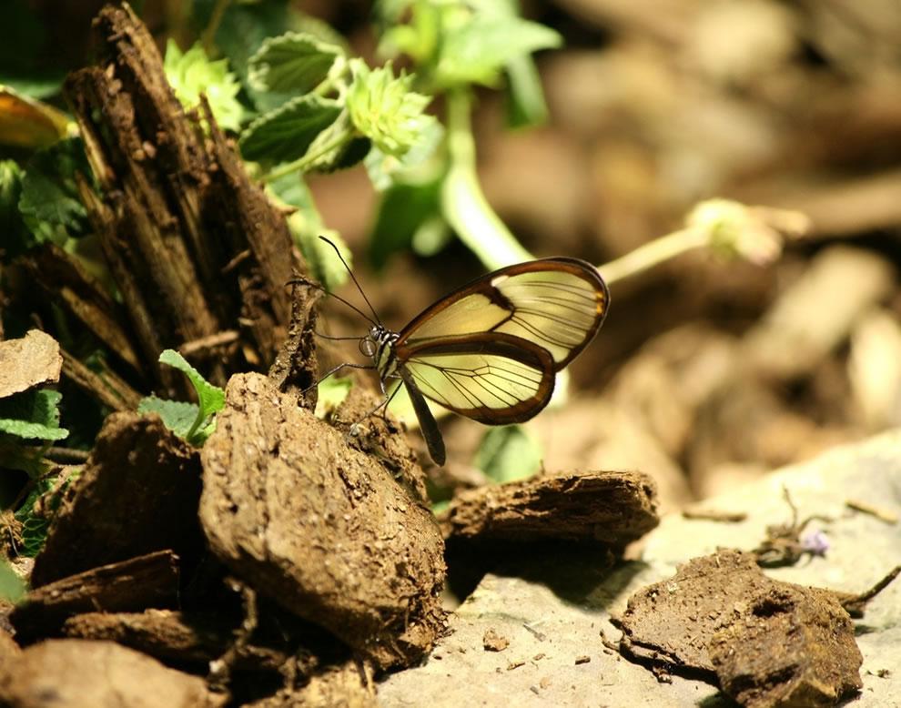 Cánh bướm trong suốt 9yz6