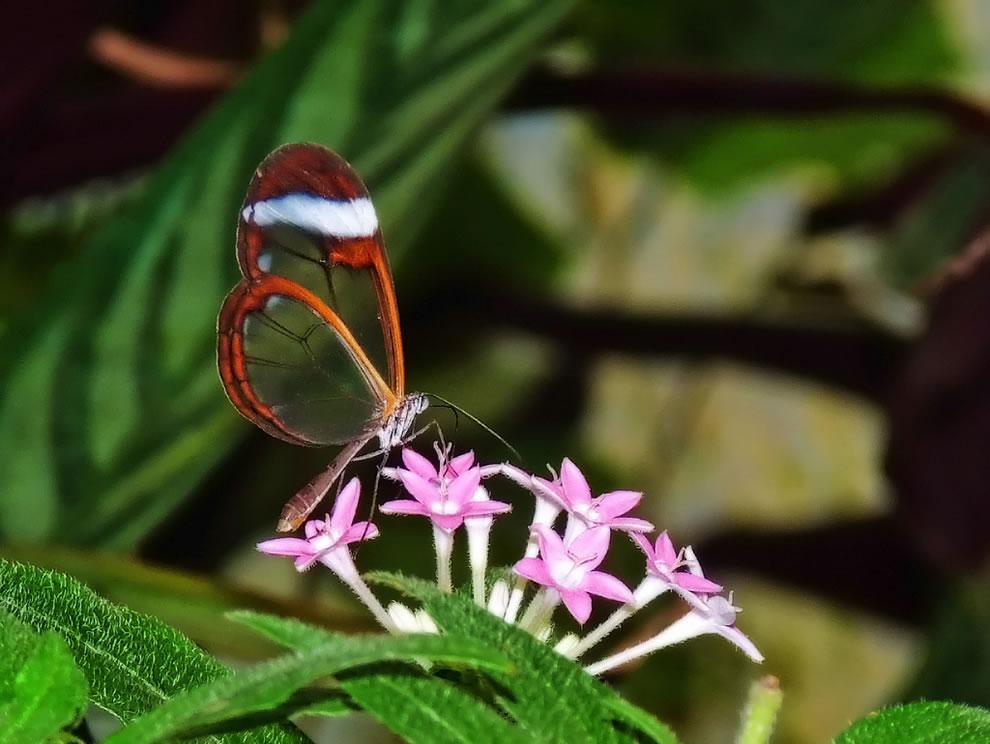 Cánh bướm trong suốt Y9d8