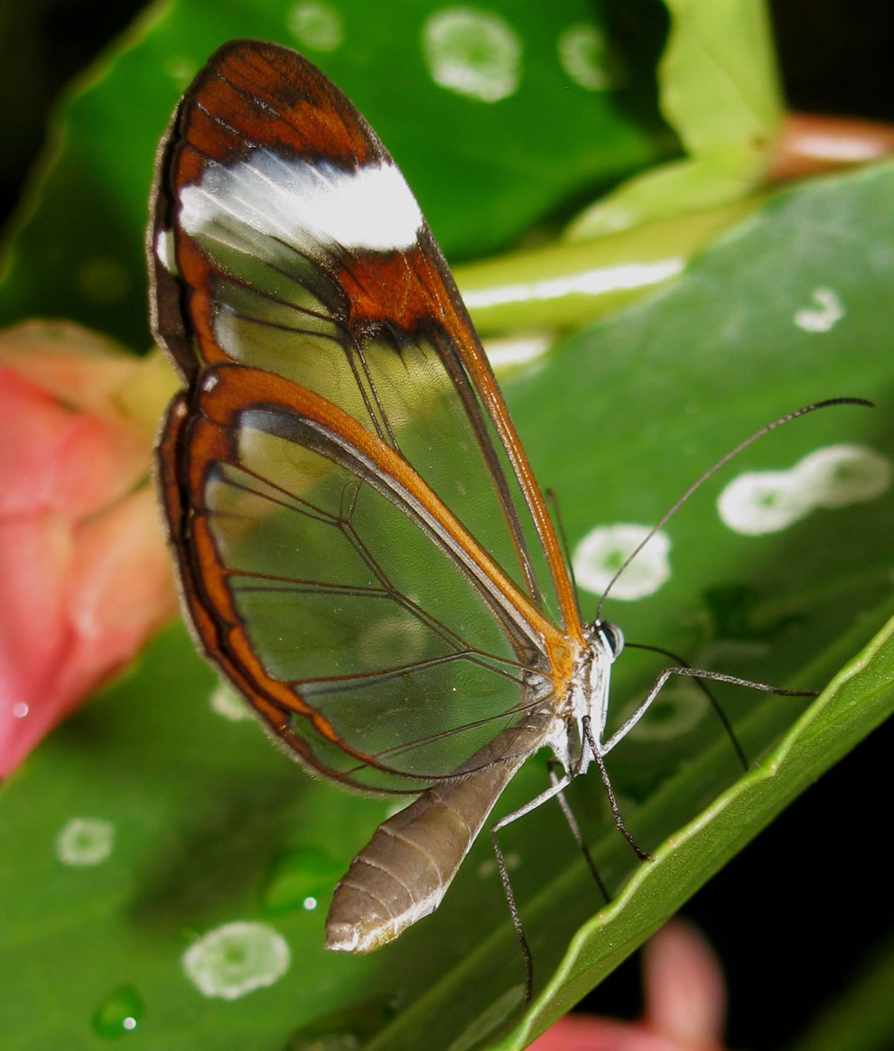 Cánh bướm trong suốt Vjnm