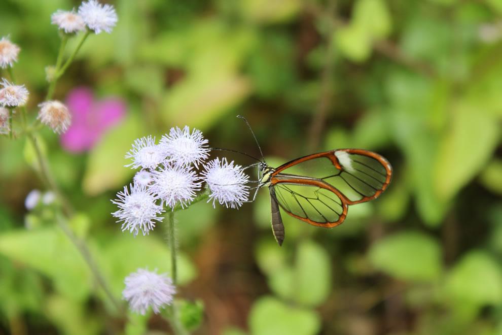 Cánh bướm trong suốt Zryx