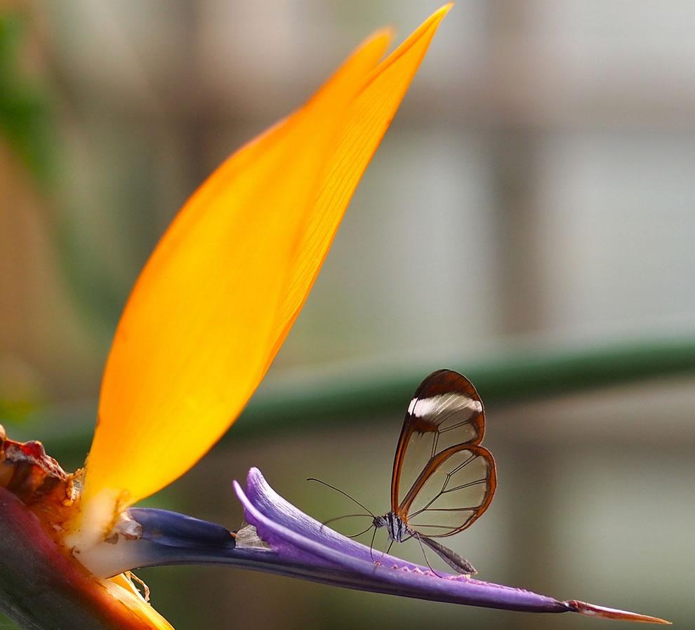 Cánh bướm trong suốt C551