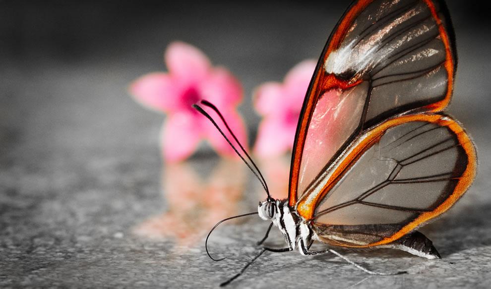 Cánh bướm trong suốt T2kf