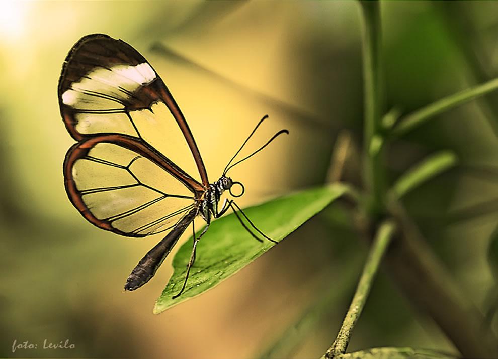 Cánh bướm trong suốt Oi4l