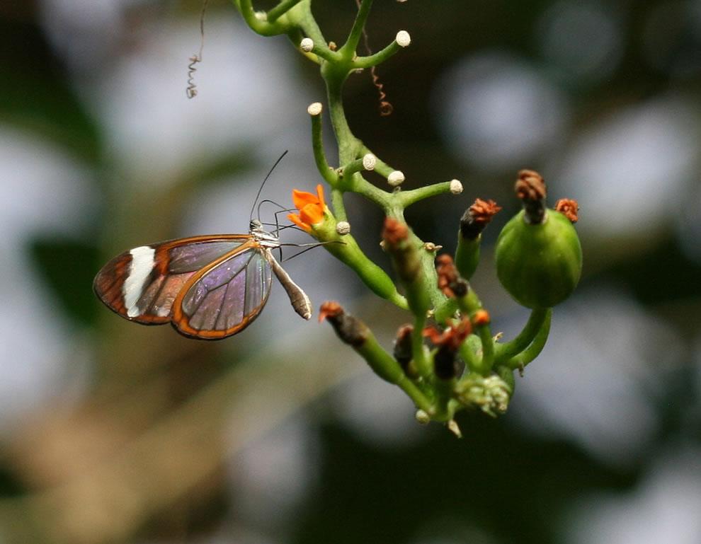Cánh bướm trong suốt V91p