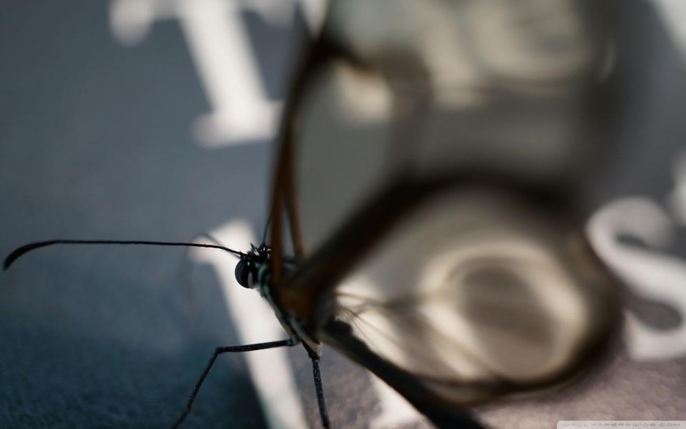 Cánh bướm trong suốt Dtaw