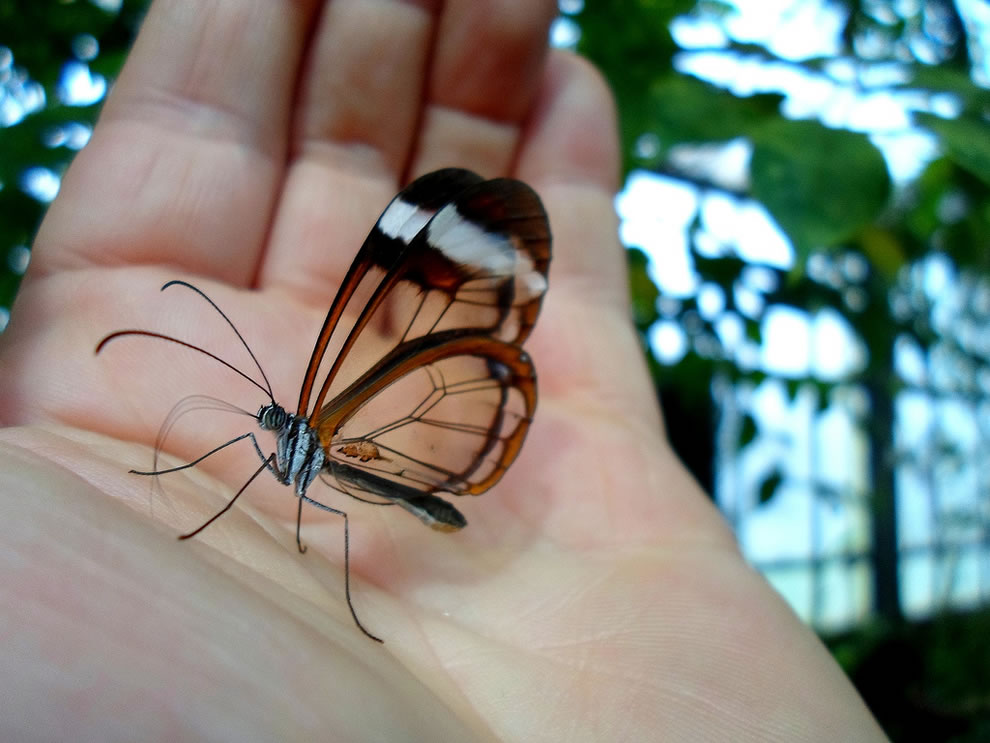 Cánh bướm trong suốt Ra00