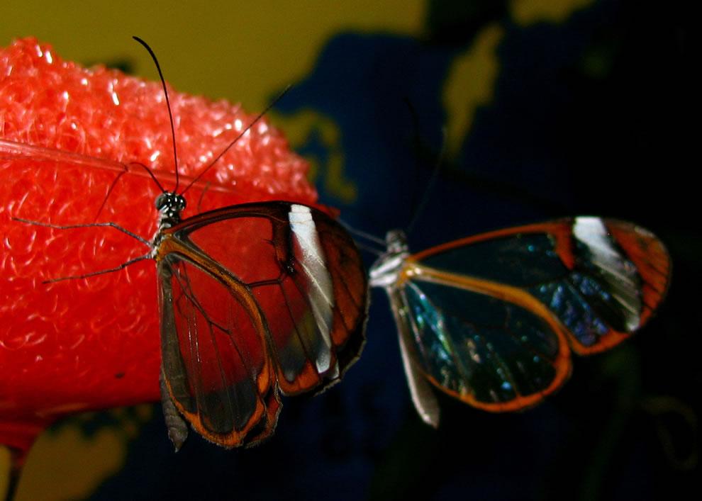 Cánh bướm trong suốt Kk82