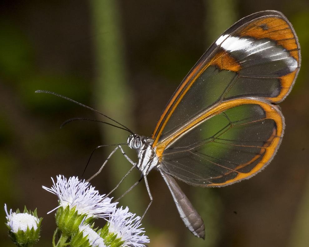 Cánh bướm trong suốt Ywvp