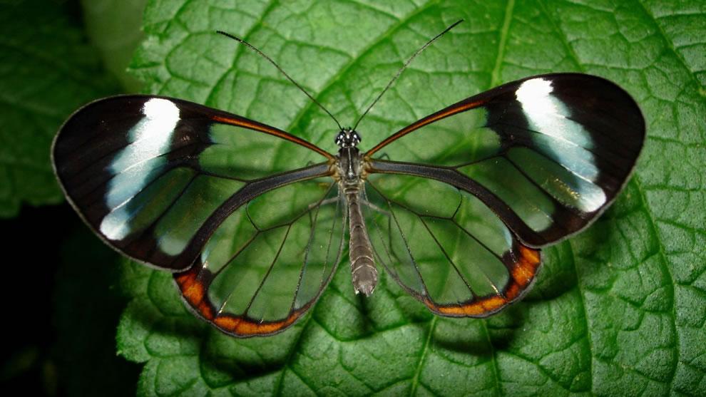 Cánh bướm trong suốt 838t