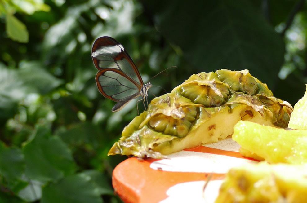 Cánh bướm trong suốt Gum7