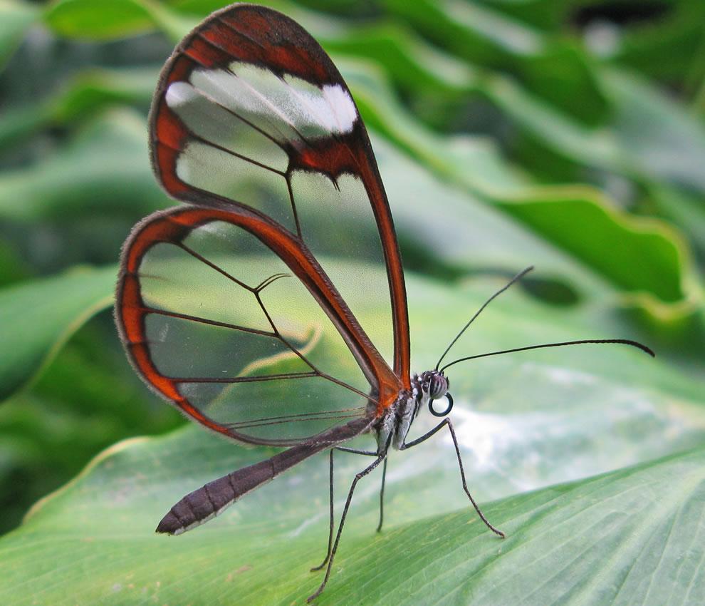 Cánh bướm trong suốt Gycw