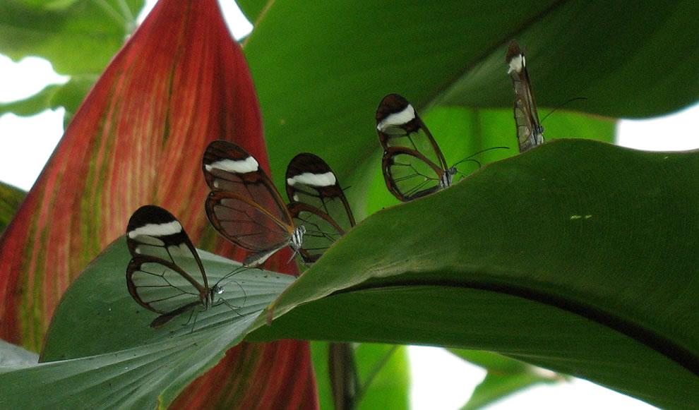 Cánh bướm trong suốt 4ymo