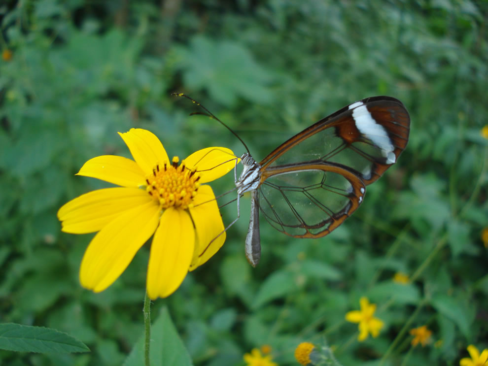 Cánh bướm trong suốt 9saq