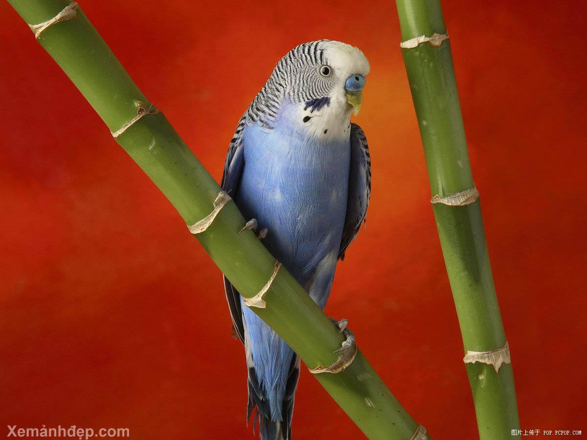 Hình nền Chim 04sweetbird